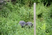 Die Perlhühner - un peu timides