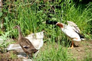 Herr und Frau Ente: biologische Schneckenbekämpfung