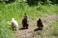 Die Seidenhühner