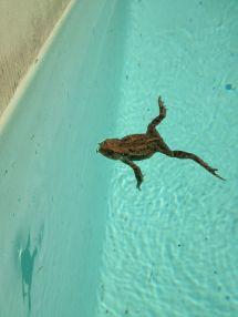 Der Pool-Frosch